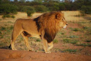 lion-805084_960_720