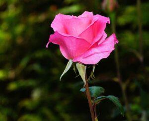 rose-441930_960_720