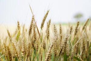 wheat-1556700_960_720